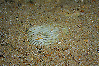 striped pyjama squid, Sepioloidea lineolata, hiding in sand to ambush a prey, an endemic species of bobtail squids, Edithburg, South Australia