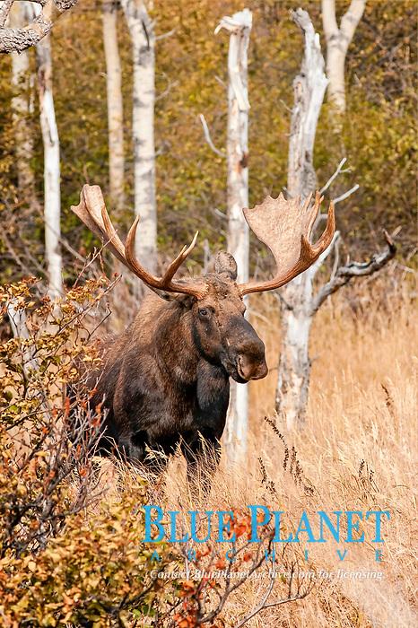 A bull Moose (Alces alces), Alaska