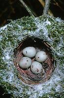 Buchfink, Ei, Eier, Gelege im Nest, Fringilla coelebs, chaffinch