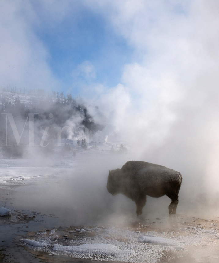 A lone Buffalo keeps warm in a thermal area by a geyser at Yellowstone National Park on a cold January mornin