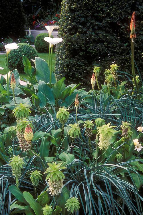 Tropical style plantings, summer flowering bulbs Eucomis bicolor, Calla lily Zantedeschia, perennial Kniphofia, Colocasia elephant ears, tender and hardy plants interplanted or summer garden