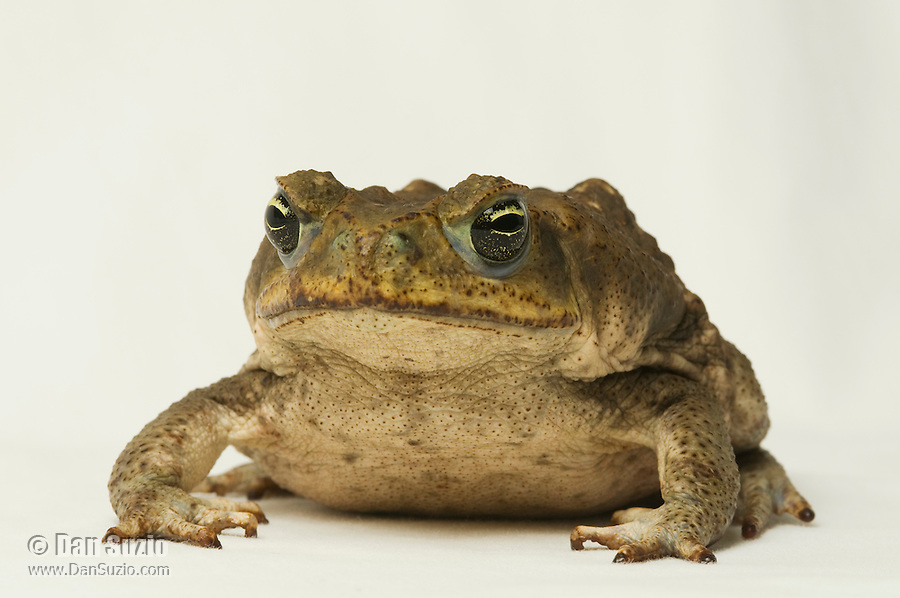 Cane toad, Bufo marinus. Captured in a fountain in front of Punta Leona hotel and resort, near Jaco, Costa Rica