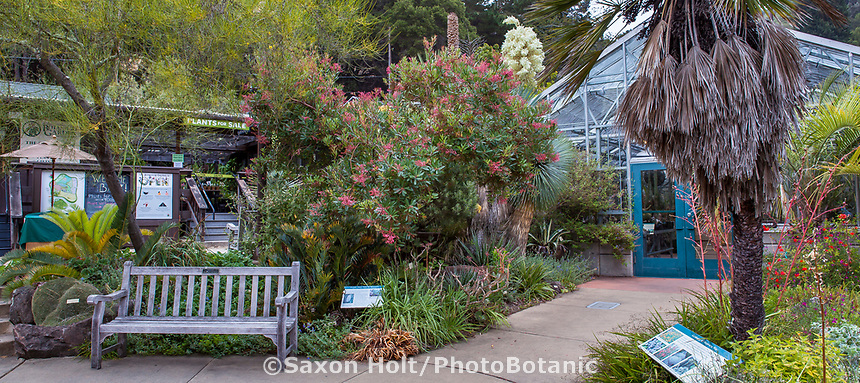Comarostaphylis discolor flowering Mexican shrub by greenhouse in entry garden University of California Berkeley Botanical Garden
