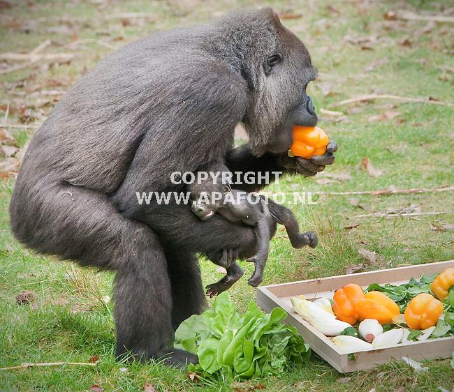 Apeldoorn, 300311<br /> Burgemeester Fred de Graaf op kraambezoek bij de gorilla's in de Apenheul . Hij trakteerde de groep op een fruit en groentetaart.<br /> Foto: Sjef Prins - APA Foto