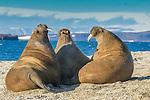 Atlantic walrus, Svalbard, Norway
