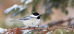 Black-capped chickadee holding a sunflower seed on a winter day in Wisconsin.