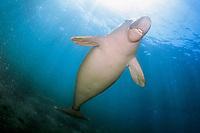 dugong or sea cow (c), Dugong dugon, Indonesia