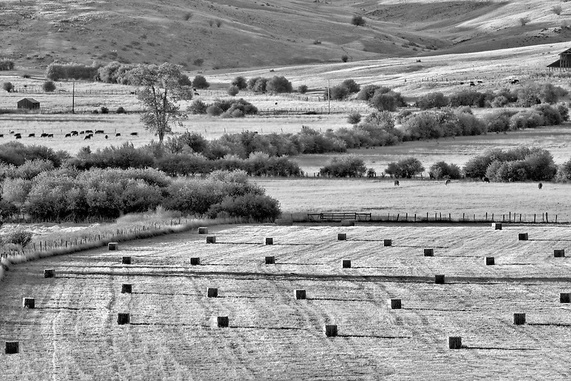 Large bails of hay and cattle in pasture. Near Halfway. Oregon