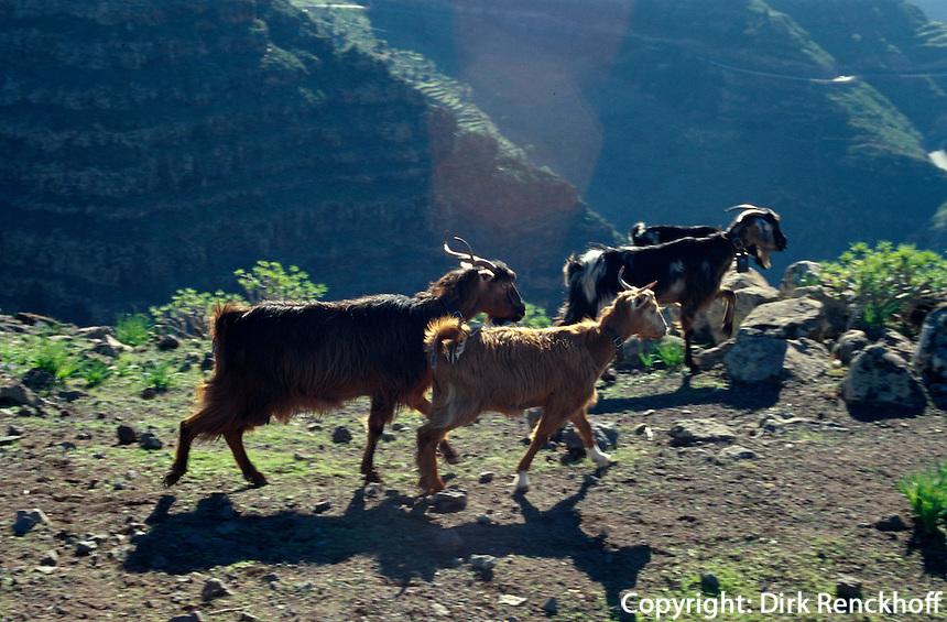 Spanien, Kanarische Inseln, Gomera, Ziegen beim Mirador del Santo