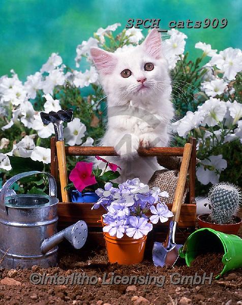 Xavier, ANIMALS, REALISTISCHE TIERE, ANIMALES REALISTICOS, cats, photos+++++,SPCHCATS909,#a#, EVERYDAY