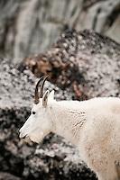 Mountain Goat (Oreamnos americanus), The Enchantments, Alpine Lakes Wilderness, WA.