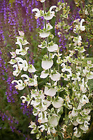 White flower and bracts of Salvia sclarea var. turkestanica, herb, Clary Sage in Cabrillo College salvia gaden