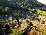Spanien, Balearen, Mallorca, Mandelbluete bei Soller | Spain, Balearic Islands, Mallorca, Almond blossom near Soller