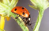 Käfer frisst Blattlaus