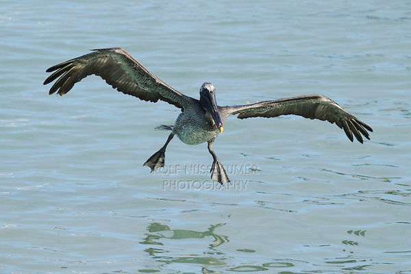 Brown Pelican (Pelecanus occidentalis), immature in flight, Galapagos Islands, Ecuador, South America