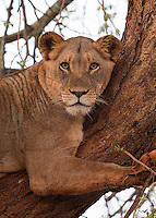 A female lion perches in a tree.  This was one of the new lions about to be released into Zimanga Game Reserve.