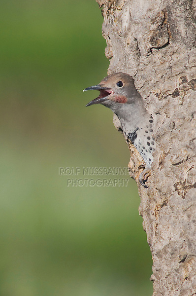 Northern Flicker,Colaptes auratus,Red-shafted form,young in nesting cavity calling, Rocky Mountain National Park, Colorado, USA, June 2007