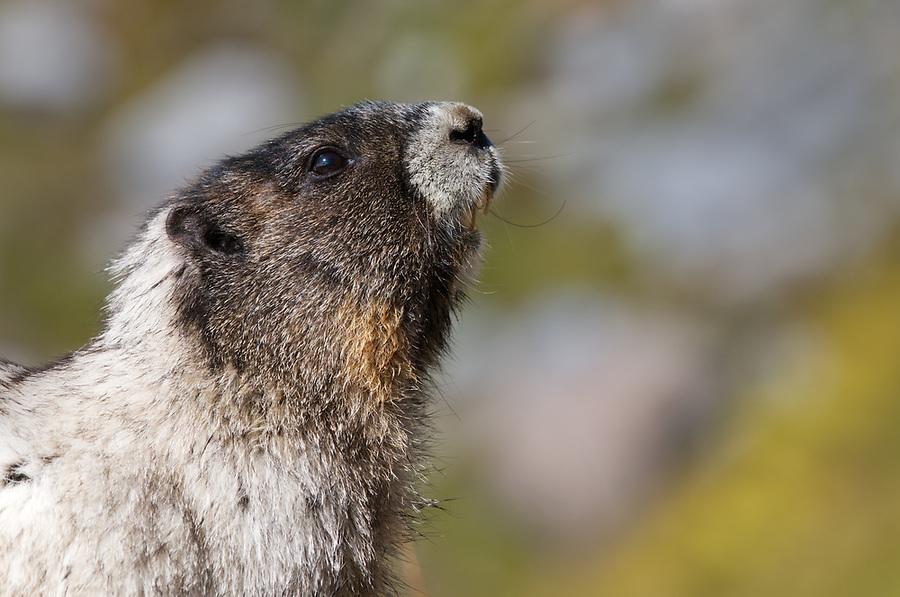 Head and shoulders of hoary marmot, Mount Rainier National Park, Washington State, USA