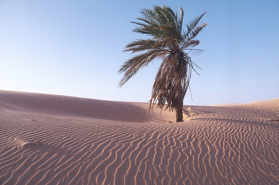 Palmier menacé par les sables à Lehveïra. Mauritania. Afrique. Palm tree threatening by the advance of the dunes. Mauritania. Africa