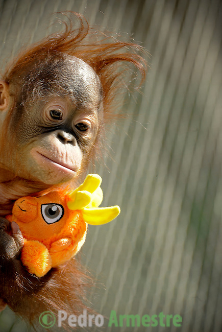 """SPAIN, Madrid : Orang-Utan baby Boo is pictured in his enclosure at Madrid's Zoo on April 14, 2011. The nine-months-old Orang-Utan was officially named Boo, inspired in the Sanskrit word """"bhoomi"""" (or """"bumi"""") which means Earth. (c) Pedro ARMESTRE"""