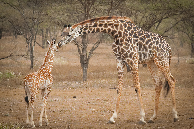 Mom giraffes form a type of daycare for their young. One of the females in the heard will stay behind and baby sits all of the youngsters while the rest of the females go out foraging for food.