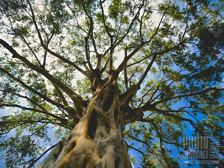 Looking up at the sunlit sky through a giant ficus tree's canopy of branches, Big Island.