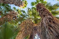Desert fan palm trees (Washingtonia filifera) in The Living Desert Zoo and Gardens, Palm Springs, California.