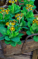 Yellow and black trimmed Primulas in an old box trug