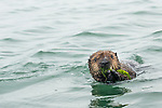 Sea Otter (Enhydra lutris) pup playing with seaweed, Elkhorn Slough, Monterey Bay, California