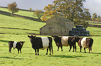 Belted Galloway cows and calves in front of a stone barn in County Durham.