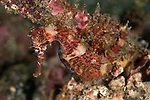 Seahorse Hippocampus moluccensis) well camouflaged in the rubble.