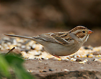 Adult clay-colored sparrow in breeding plumage at ground feeder