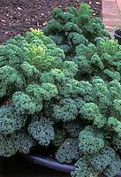 Borecale Showbor  Dwarf Green Curly Kale Collards similar to winterbor, miniature vegetable aka Cavalo Nero kale