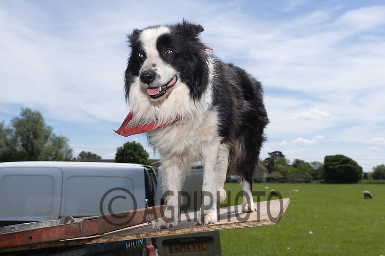 8-6-2021 Collie dog <br /> ©Tim Scrivener Photographer 07850 303986<br />      ....Covering Agriculture In The UK....