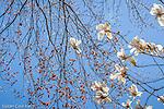 Magnolias in Cambridge, Massachusetts, USA