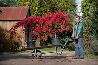BNPS.co.uk (01202) 558833. <br /> Pic: CorinMesser/BNPS<br /> <br /> Pictured: Owner Wendy Skinner moving her stock. <br /> <br /> Amazing autumn... <br /> <br /> Specialist growers of Japanese maple trees Barthelemy & Co have well and truly seen autumn arrive at their business in Stapehill near Wimborne Dorset.