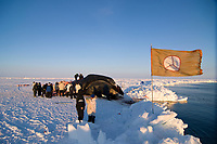 Inupiaq subsistence whalers butcher a 48 foot 8 inch bowhead whale, Balaena mysticetus, catch for distribution to the villagers of Barrow, Alaska, Chukchi Sea