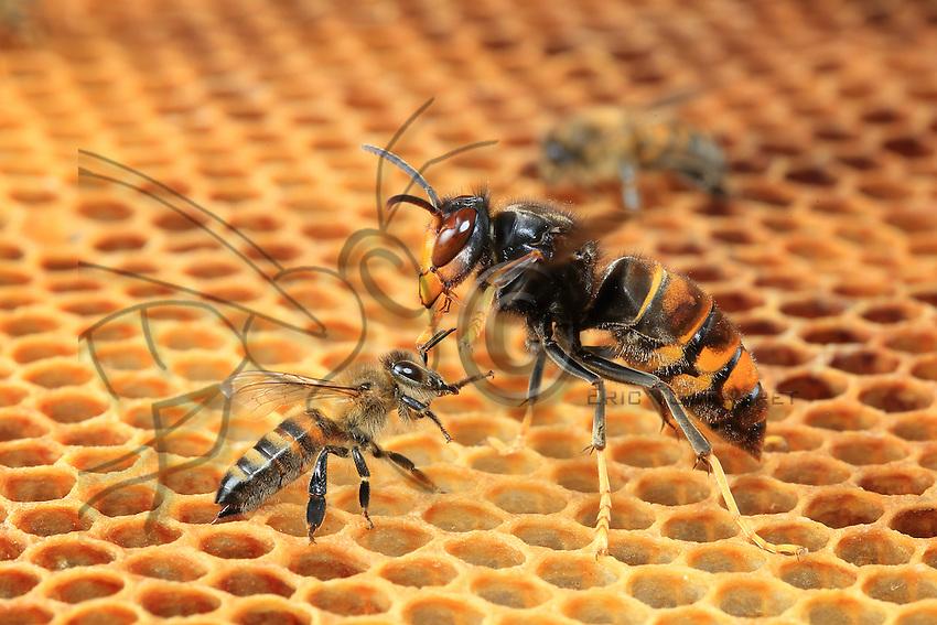 Face-off between David and Goliath. The bee has no chance of defeating the formidable predator that is the Asian hornet Vespa velutina.///Face à face entre David et Goliath. L'abeille n'a aucune chance de vaincre le redoutable prédateur qu'est frelon asiatique Vespa velutina.