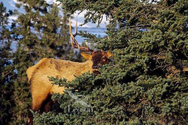 Rocky Mountain Bull Elk (Cervus elaphus).  Northern Rockies, fall.