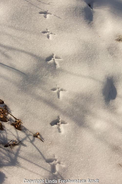 Ruffed grouse tracks