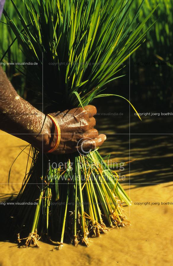 INDIA Karnataka, women replant rice seedlings at farm near Mangalore / INDIEN Karnataka, Reisanbau, Frauen pflanzen Reissetzlinge um, Hand einer Frau mit jungen Reispflanzen