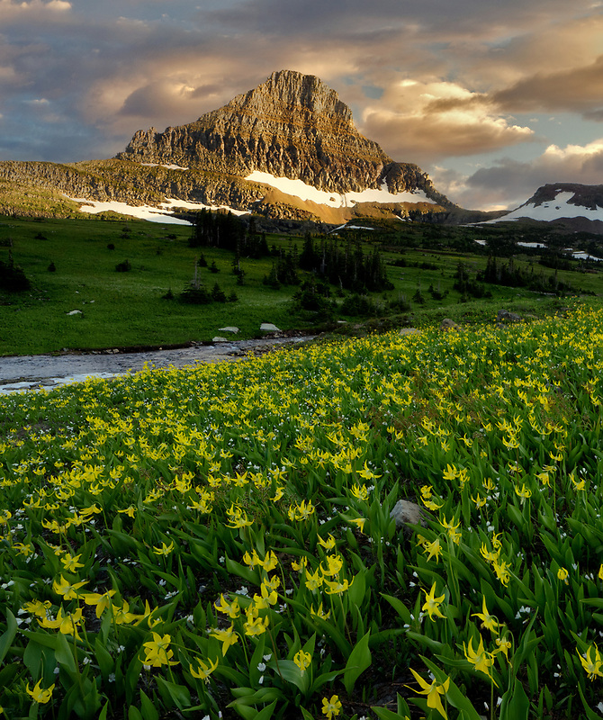 Avalanche lilies and Mt. Reynolds. Glacier National Park, Montanna