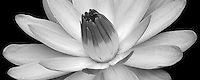 Tropical water lily. Hughes Water Gardens. Oregon