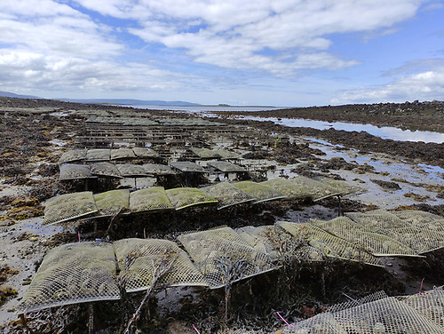 Oyster trestles in South East Galway Bay at Kelly Oysters