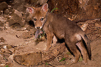 Coyote pup, Canis Latrans with freshly caught vole on river bank, midwest USA