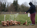 """25/03/16<br /> <br /> Zak Byra feeds the flock of free range hens.<br /> <br /> Full story here:  <br /> <br /> http://www.fstoppress.com/articles/happy-hens/<br /> .<br /> FARMER Roger Hosking doesn't believe there is such a thing as a bad egg, especially when he's talking about youngsters who have already made some bad choices in life.<br /> <br /> So it seems particularly fitting that this Easter, traditionally a time to celebrate new beginnings, he will spend time with disadvantaged kids, counting and grading more than 20,000 eggs each day as part of his unique """"farm school"""" philosophy.<br /> <br />  <br />  <br /> <br /> All Rights Reserved: F Stop Press Ltd. +44(0)1335 418365   www.fstoppress.com."""