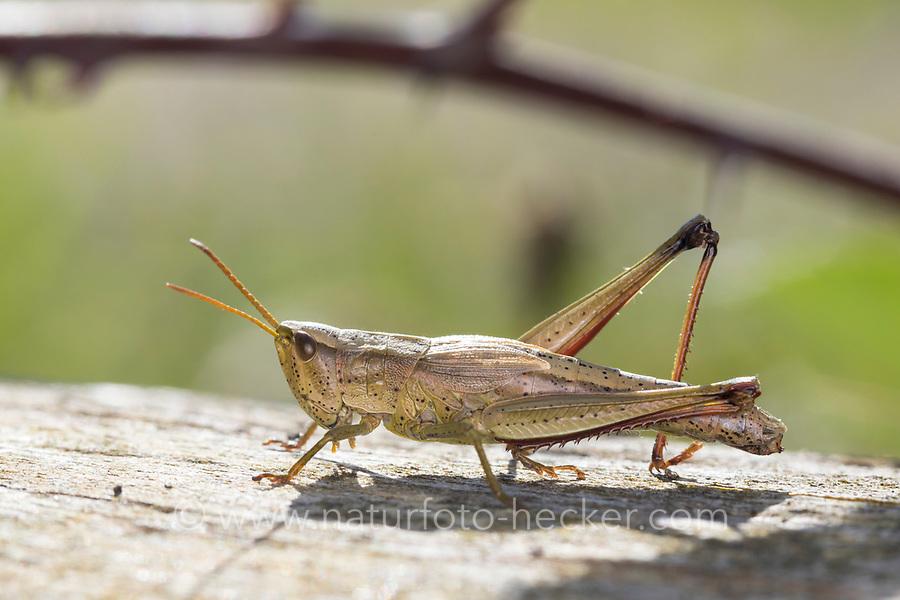 Große Goldschrecke, Grosse Goldschrecke, Goldschrecke, Weibchen, Chrysochraon dispar, large gold grasshopper, female, Le criquet des clairières