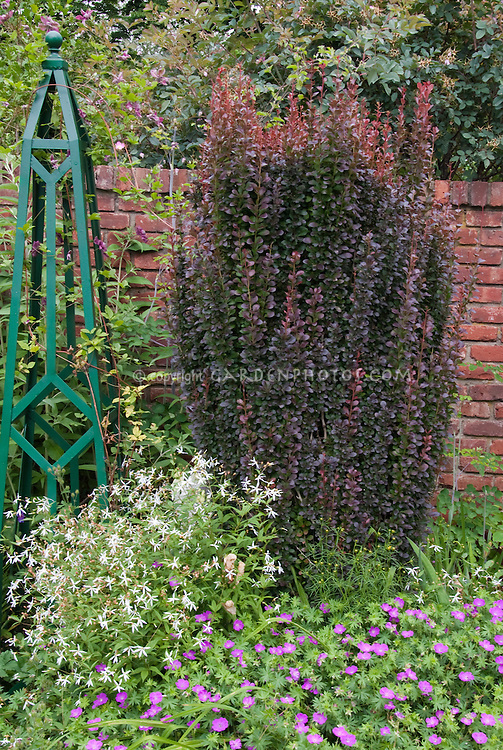 Berberis thunbergii, metal obelisk garden ornament, geranium, against brick wall