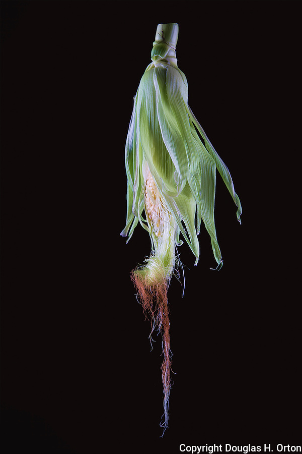 Still life creative image of single ear of corn with husk and silk.
