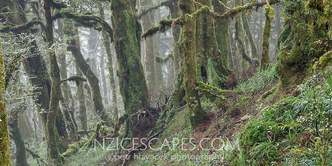 Beech forest, Te Urewera, Hawke's Bay, North Island, New Zealand, NZ